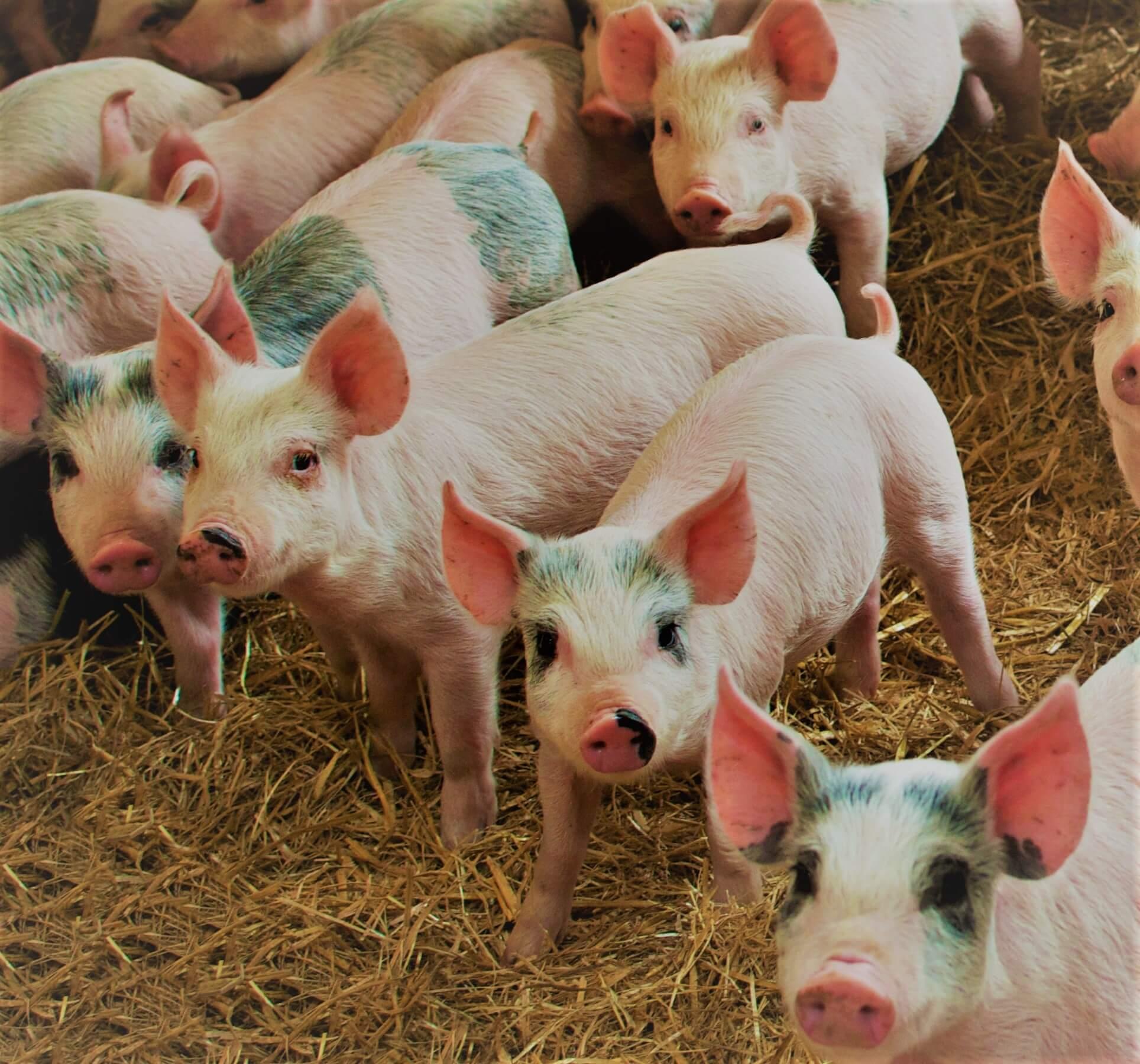 asf afrykański pomór świń